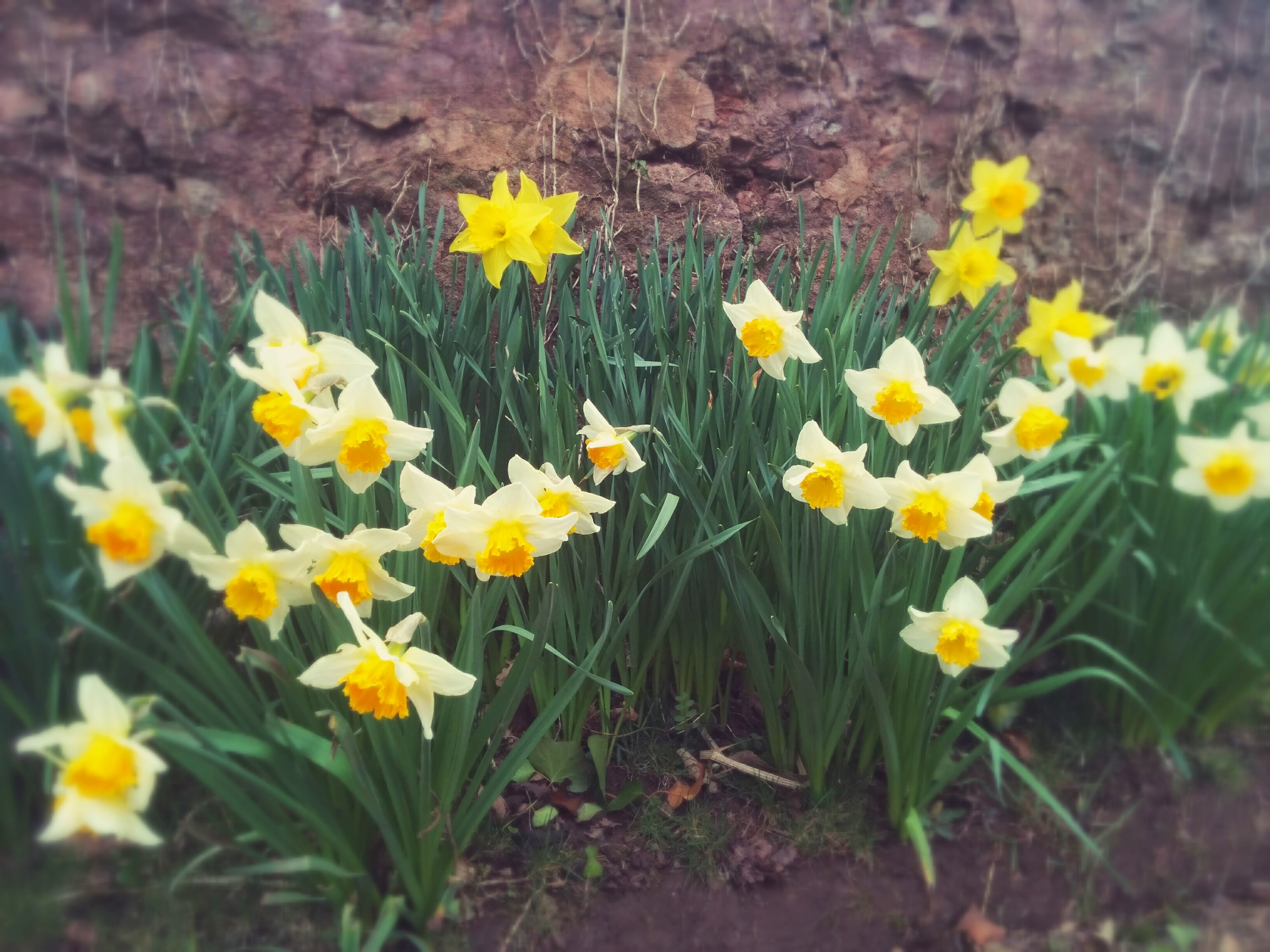 Giving-life-colour-daffodils-mid