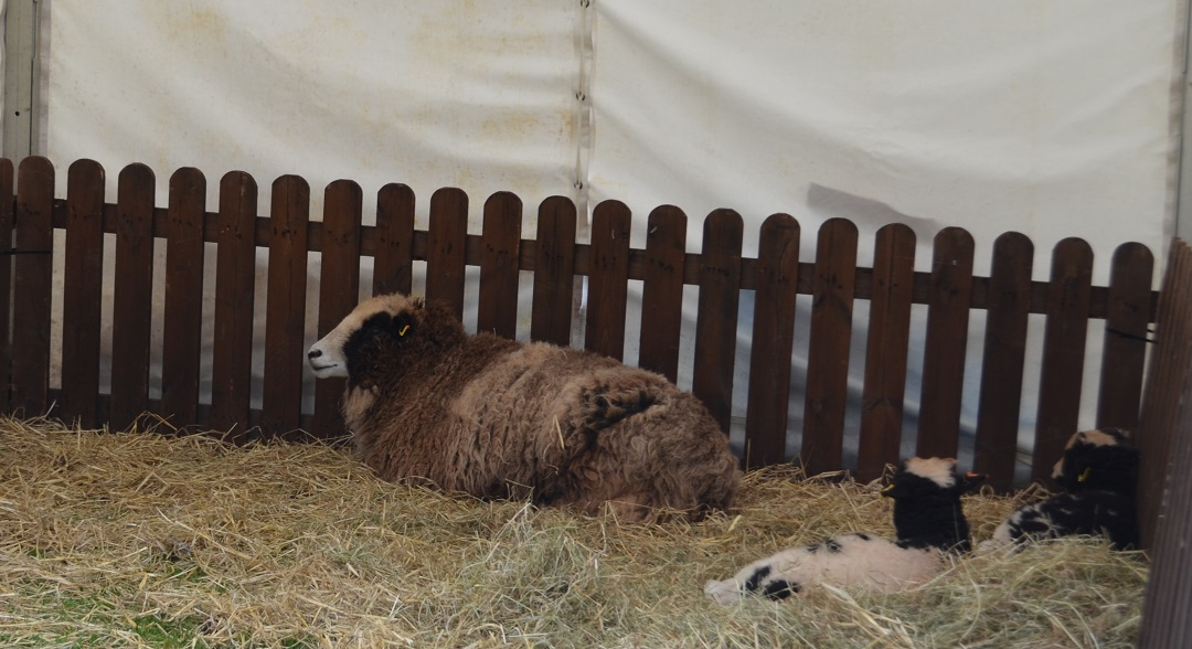 exeter-festival-of-south-west-food-and-drink-sheep